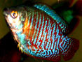Tropical Fish: Dwarf Gourami